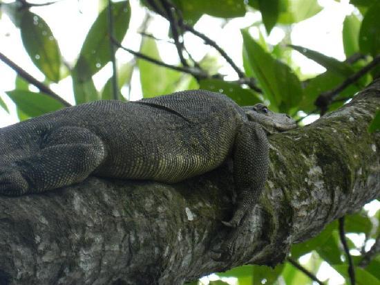 Brunei Proboscis Monkey River Safari: Water Monitor Lizard