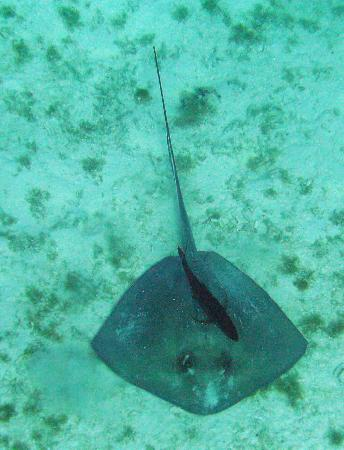 Palancar Reef : Ray and cleaner fish