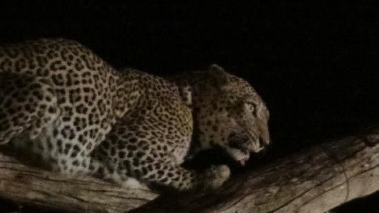 Diani Sea Lodge : lunchtime for leopards