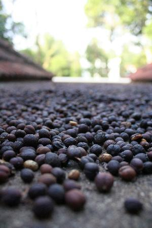 Cheeral Green Homestay : Coffee beans drying