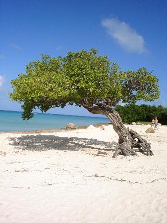 Eagle Beach: divi divi tree at the end of the beach