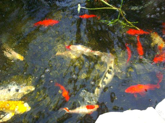 Beachpoint Resort Cottages: Beautiful Koi pond