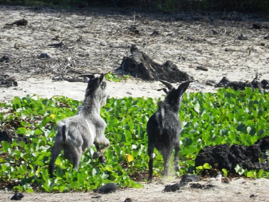Makalawena/Pu'u Ali'i: Keep Your Eyes Open An You May See The Wild Goats