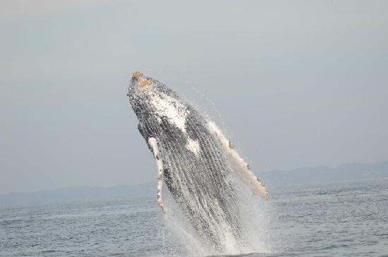 Ocean Friendly Whale Watching Tours: whale breeching PV