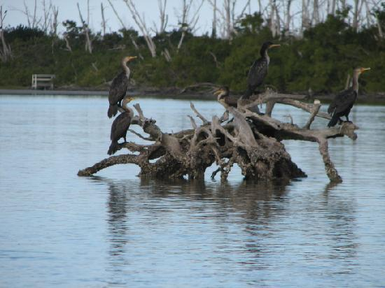Blind Pass Condominiums: We paddled past this flock in our kayaks.