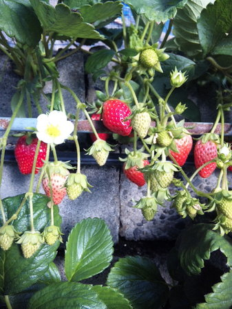 Mt.Kuno Strawberry Picking