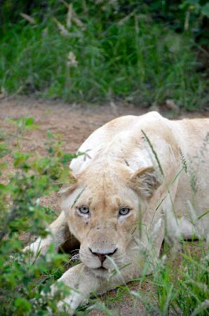 Kings Camp: Rare White Lion with spectacular eyes