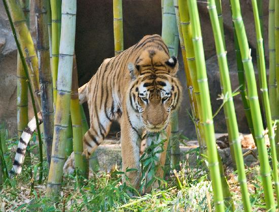 Bangle Tiger Picture Of Riverbanks Zoo And Botanical Garden Columbia Tripadvisor