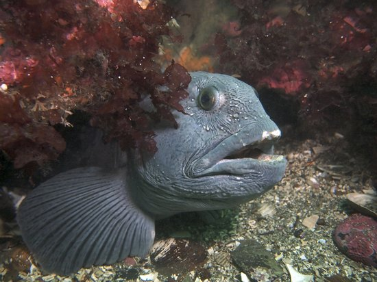 Strytan Divecenter : One of the wolf fish (or wolf eel)