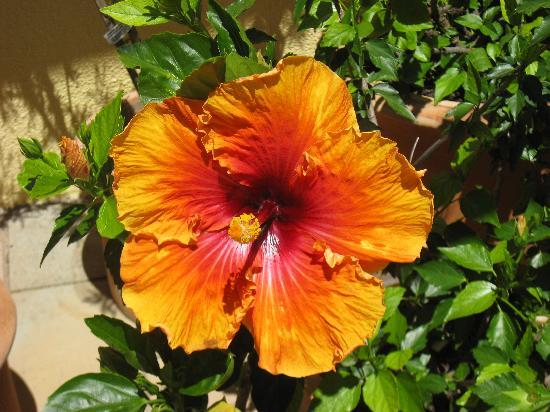 Loloho Lodge: Another Hibiscus!!