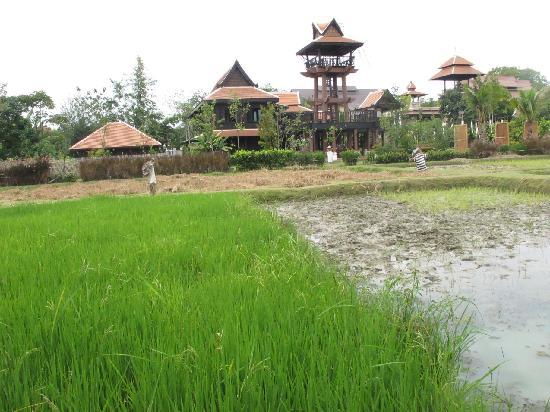 Siripanna Villa Resort & Spa: Rice paddy field - The restaurant in the distance
