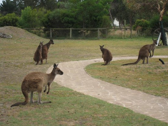 Grantville, Australia: Kangaroos roaming around