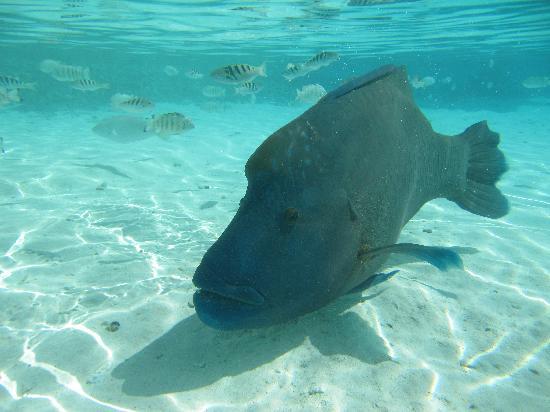 TOPDIVE Fakarava : Napoleon fish in south pass