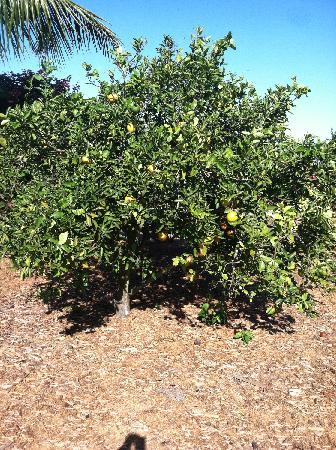 Bradenton, FL: Mixon Fruit Tree