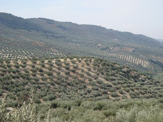 Cortijo Molino Los Justos: Olive trees forever!
