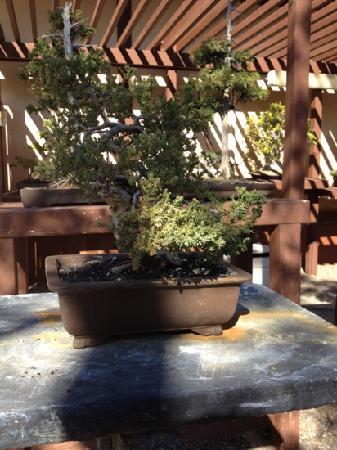 Japanese Friendship Garden: Bonsai Tree