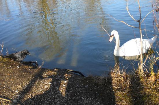 Merian Garten: Black & White: the crow and the swan