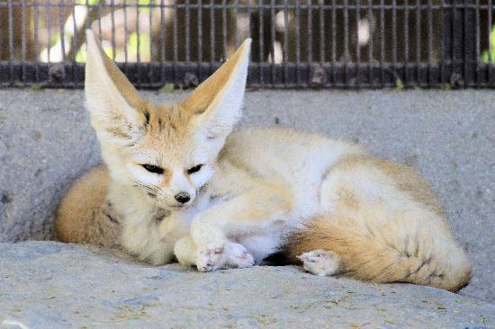 Living Desert Zoo & Gardens: Kit fox on display.