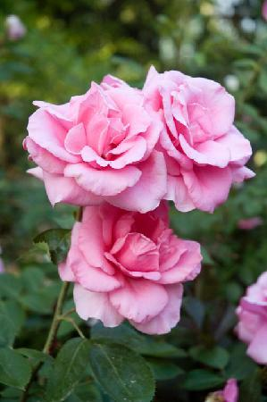 Cross House Garden Inn: GARDEN ROSES