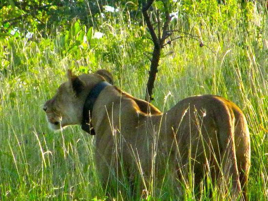 Campi ya Kanzi: caccia fotografica alla leonessa