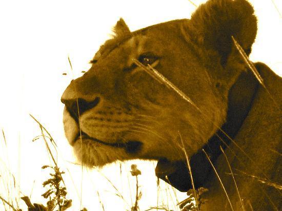 Campi ya Kanzi: la leonessa
