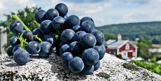 Boyden Valley Winery: Frontenac grapes on granite and winery in the background