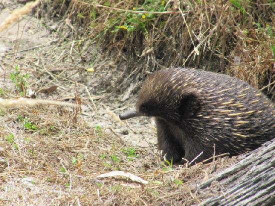 Halls Haven Resort : Our Echidna