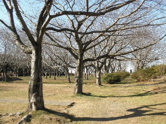 Ruins of Kashima Castle : 桜の樹