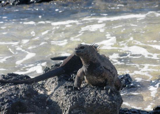 หมู่เกาะกาลาปาโกส, เอกวาดอร์: First encounter with marine iguanas