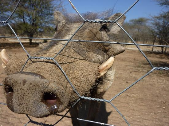 Ombo Rest Camp: One of the wart hogs