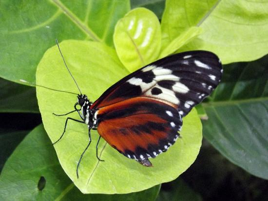 green butterfly picture of niagara parks butterfly. Black Bedroom Furniture Sets. Home Design Ideas
