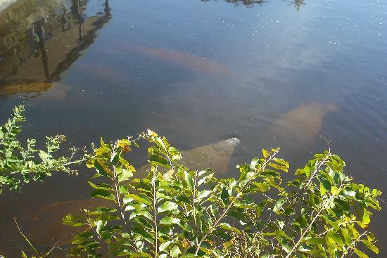 Manatee Park: several manatees