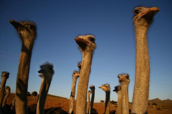 Ostriches - one of the main attractions in Oudtshoorn