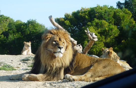 Reserve Africaine de Sigean : Lions