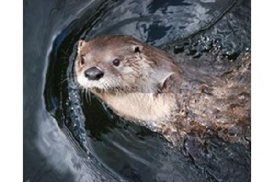Newport News, VA: Relax and watch a River Otter swimming