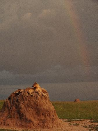 Entim Camp: I'm sure our guide arranged this lion to pose by this rainbow for us! :)