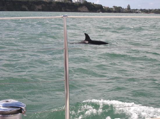Best Western President Hotel Auckland: Visting Whales in the harbour