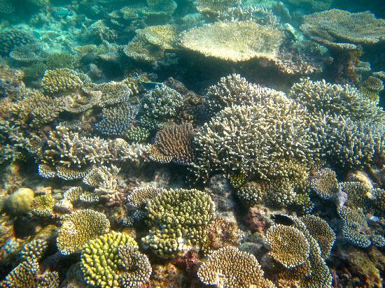 Vivanta by Taj Coral Reef Maldives: snorkeling house reef