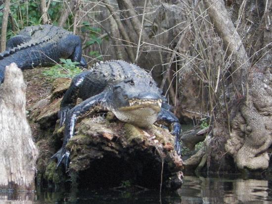 Hillsborough River: Large gators