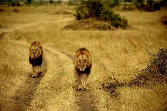 Mara Serena Safari Lodge: A lion pair of brothers