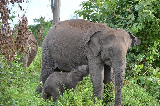 Udawalawe National Park: Mother & Calf