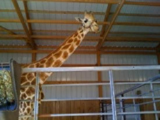 Cape Girardeau, MO: Zach the Giraffe visited Lazy L Safari Park during the 2011 season!