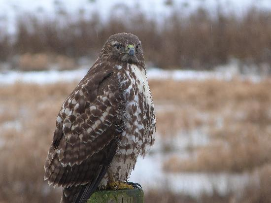 Olimpia, WA: Very cool hawk!