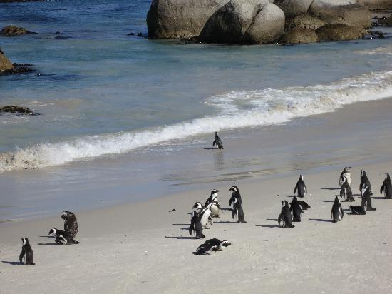 Boulders Beach: One brave little guy went for a swim