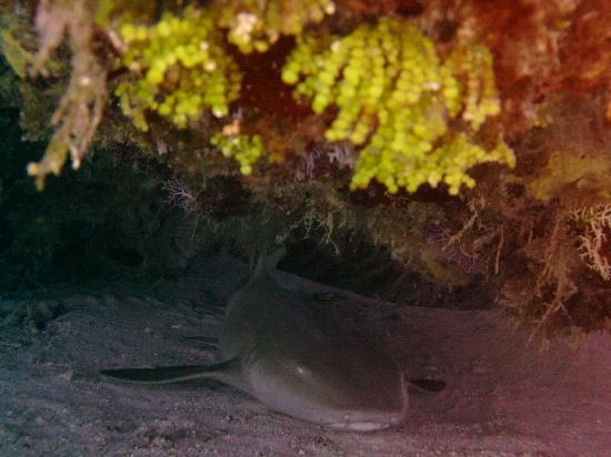 Dive Paradise: Shark at rest