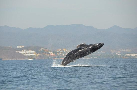 Ocean Friendly Whale Watching Tours: Amazing!!