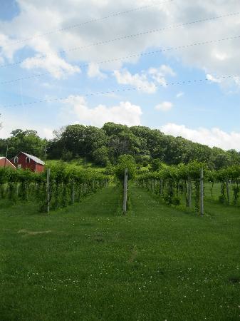 Galena Cellars Vineyard : Vineyard In Bloom
