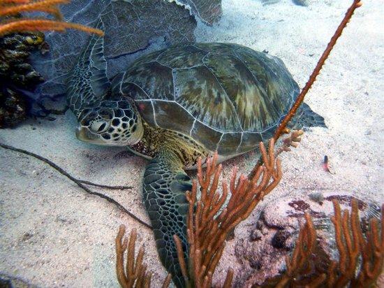 Eco Dive Barbados: Turtle