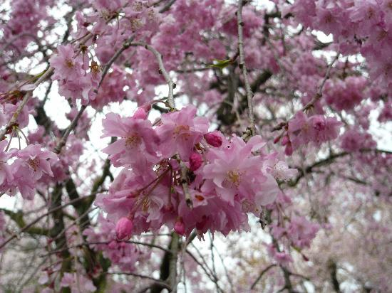 Haradanien: 紅枝垂れ桜のシャワーです。