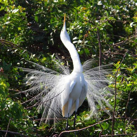 Delray Beach, FL: Great Egret in mating plumage